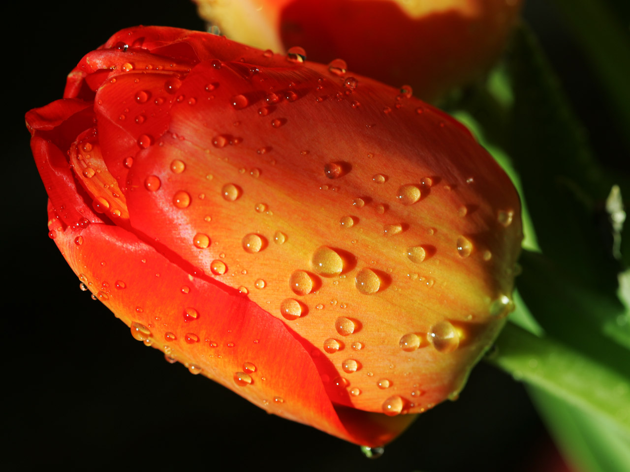 flower-tulip-water-drop2