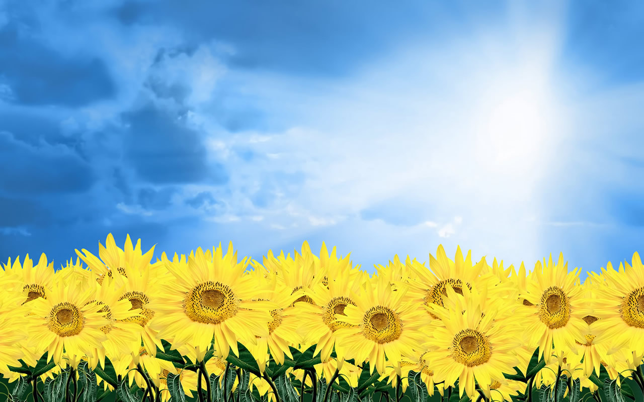 45052-flower-sunflowers